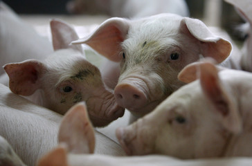 Piglets are seen at a farm near the village of Belotincy