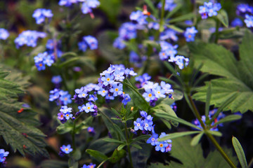 Delicate blue flowers among the grass. Forget-me-nots. Plants. Spring and summer.