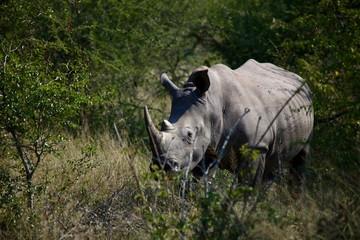 Rhino in Bush
