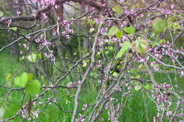 Blooming branches with little pink flowers