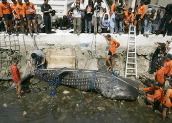 A Bureau of Fishery and Aquatic Resources (BFAR) official measures a dead whale shark at the shoreline of the Philippine coast guard headquarters in Manila