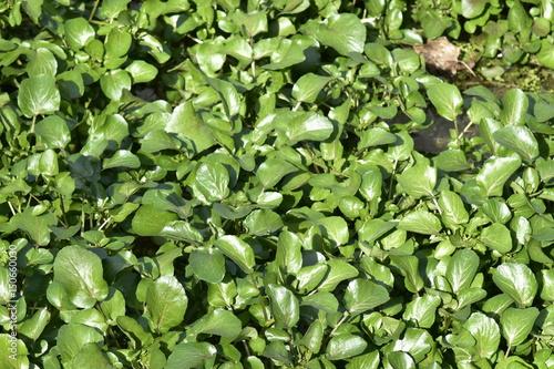 Feuilles de cresson au printemps dans l 39 un des bacs du - Culture du cresson de jardin ...