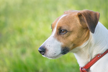 Head of a dog jack russel terrier in profile with a green background