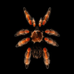 Top view on Big Spider, hairy Red Tarantula brachypelma boehmei isolated Black Background