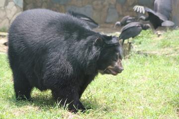 Oso negro y cuervos, Zoológico Santa Fe. Medellín, Antioquia, Colombia.