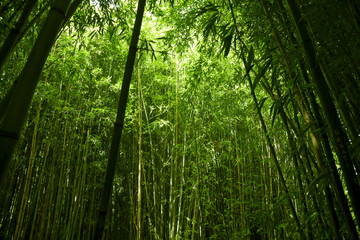 Lush green bamboo background