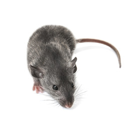 Cute funny rat on white background