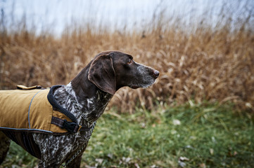 profile of a hunting dog in a field