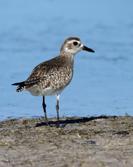 Black bellied Plover ( Pluvialis squatarola) standing on a beach looking for blood worms at Fort Desoto Park near St. Pete Beach, Florida.