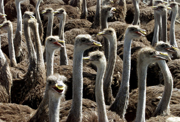 OSTRICHES ON FARM WEAR YELLOW RINGS TO PROTECT THEIR SKINS IN THE JORDAN VALLEY.