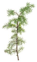 Common juniper, Juniperus communis twig isolated on white background