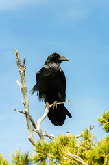 An epic pose of a black Raven in Grand Canyon National Park, Arizona USA.