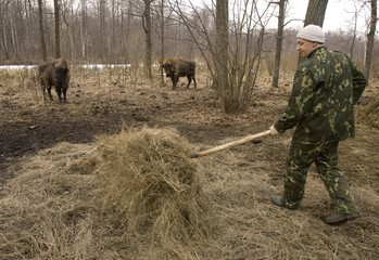 An employee of the Chernobyl ecological radiology reserve carries hay to feed bison in a forest in the exclusion zone around the Chernobyl nuclear reactor