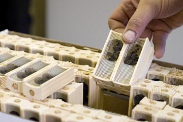 Trevor Rehaluk examines honey queen bees he ordered from California, in Saskatoon