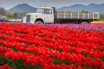 Northwest Tulip Harvest. Tulips being harvested and loaded onto a truck in the Skagit Valley, Washington State.