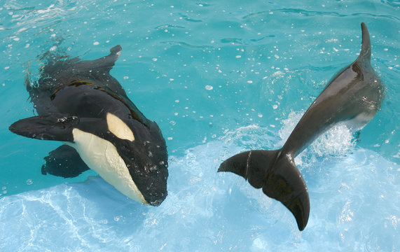 File picture shows month old orphan killer whale Pascuala with dolphin at the Dolphin Adventure park in Nuevo Vallarta