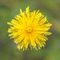 A macro image of a yellow dandelion flower