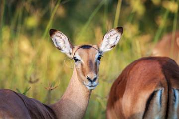 Impala starring at the camera in Chobe.