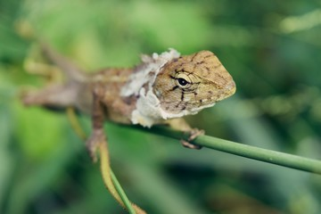 Closeup face , Molting chameleon with natural green leaves in the background.,Thailand