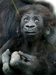 Two month-old gorilla baby Kito rests on his mother's hand in their enclave at the Cologne zoo May 1..
