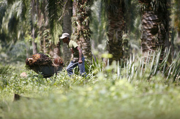 A worker collects palm oil fruits at a plantation outside Kuala Lumpur