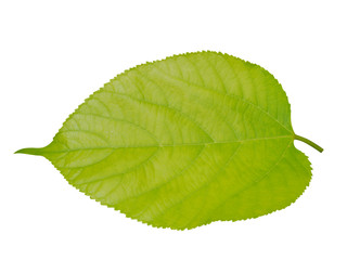 Leaf of Himalayan Mulberry on tree.