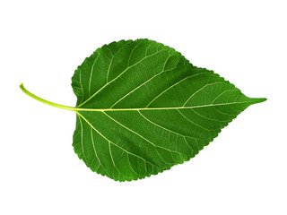 Leaf of Mulberry on white background.