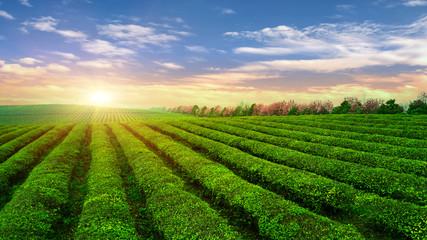 Tea plantation.Chinese tea. Wall mural