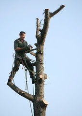 A woodcutter chops down a tree in a residential area at Fontenay sous bois near Paris