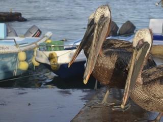 Pelicans at Puerto Ayora fish market, on Isla Santa Cruz, Galapagos Islands.