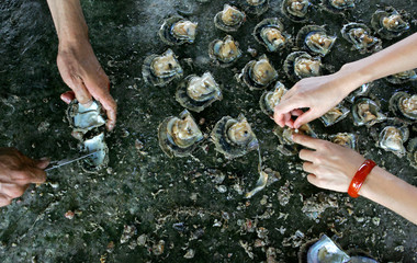 Labourers extract pearls from oysters at breed aquatics center in Sanya