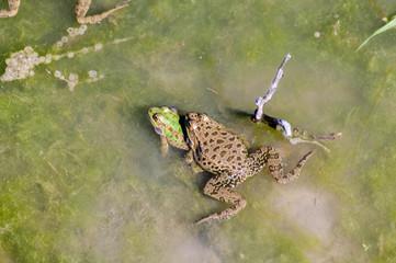 Frogs in bog