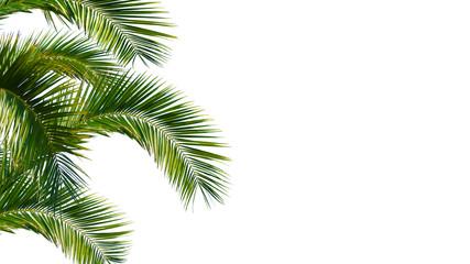 Photo sur cadre textile Palmier palme, palmwedel, palmblätter vor weißem hintergrund