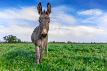 Foto op Plexiglas Ezel Beautiful donkey in green field with cloudy sky