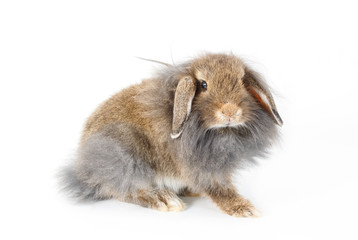 A lionhead bunny rabbit, isolated on white background