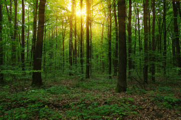 Forest with sunlight.