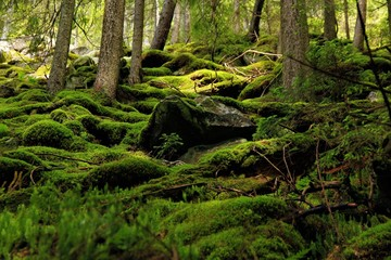 Moss in the forest of Carpathians mountains, sunlit