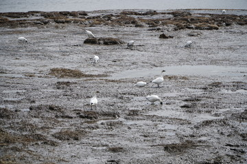 Snow Geese in the silt