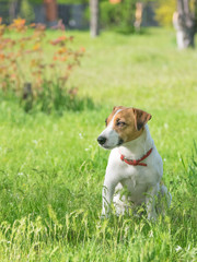 A purebred small white dog sitting in a sunny summer green park