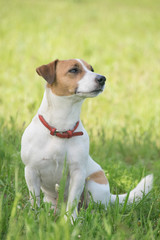 Dog Jack Russell Terrier sitting in the green grass on the field at summer day