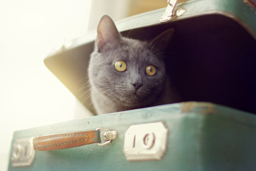 game of travel/ A blurred silhouette of a curious cat peeking out of an old suitcase