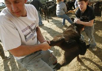 Men wrestle a calf belonging to the Hogan family before branding near Boulder