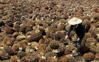 worker arranges palm oil fruits at factory on outskirts of Kuala Lumpur