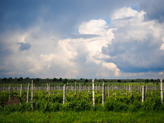 Vineyards near Focsani, Romania, in spring, with dramatic storm clouds overhead