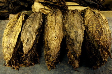 Tobacco leaves are readied at Bermudez tobacco workshop in the port of Cumana