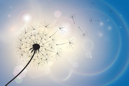 Dandelion in a summer breeze