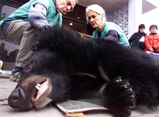 VET COCHRANE CHECKS SEDATED ASIATIC BLACK BEAR IN CHENGDU.
