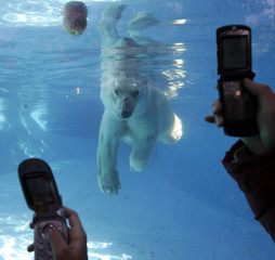 Visitors take pictures with their cell phones of a polar bear named Botija during celebrations of its 35th birthday at Buenos Aires Zoo