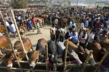Cattle traders and customers gather at a cattle market in Dhaka
