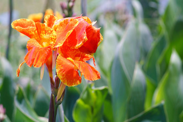 Orange Flower is Canna indica or Canna Lily in the garden.